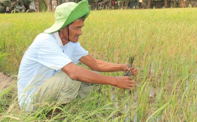 Lúa Của Nông Dân Huyện Trần Đề, Tỉnh Sóc Trăng Chết Khô Vì Mặn Xâm
